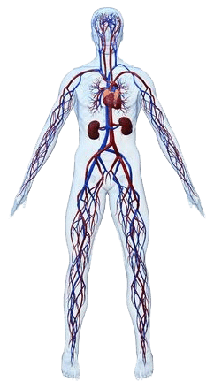 kreislaufsystem